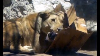 Download Feeding Lions! Behind the Scenes at the Cheyenne Mountain Zoo Video