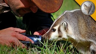Download The Badger Whisperer - Face to Face with the American Badger! Video