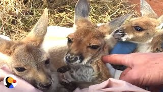 Download Rescued Baby Kangaroos Have The Best 'Mom' | The Dodo Video