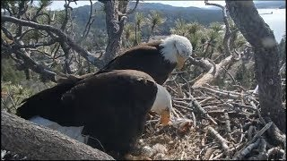Download Big Bear Eagle Cam ~ ♥♥ Mom Sees Her New Baby For The First Time ♥♥ 4.14.19 Video