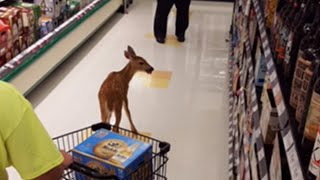 Download See Deer Walk in to Grocery Store Through Automatic Doors Video