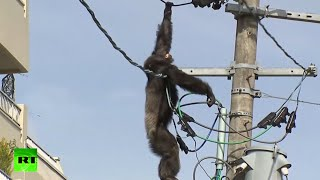 Download Dramatic high-altitude chase as chimp goes on the loose in Japan Video