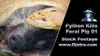 Download Python Kills Wild Boar 01 Stock Footage Video