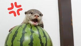 Download 【西瓜の主】スイカを叩くと助けに入るカワウソのビンゴOtter Bingo come to the rescue of the watermelon Video