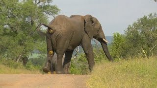 Download SOUTH AFRICA elephant's relief (pipi and caca), Kruger nat. park (hd-video) Video