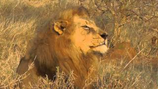 Download Lion starts his day with a yawn, or two. Video