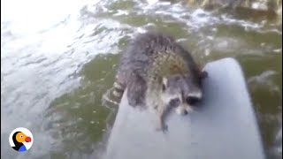 Download Guy Swims Across Rapids to Save Raccoon | The Dodo Video