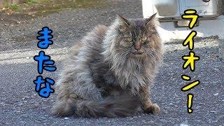 Download さらばライオン猫…元気でな! Video