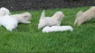 Download Maltipoo Puppies For Sale Stephen Stoltzfoos Video