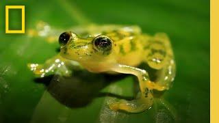 Download The Glass Frog: Ultimate Ninja Dad | Animal 24 Video