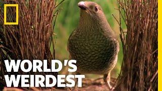 Download Bowerbird Woos Female with Ring | World's Weirdest Video