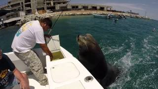 Download Pancho the Sea Lion in Cabo 2015 Video
