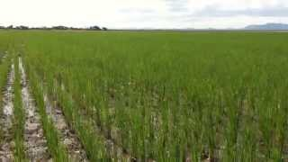 Download Dr S Kibona Rice farming. Kilimo cha mpunga Video