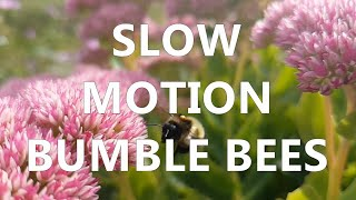 Download mudsongs.org: Bumble Bees in Slow Motion Video