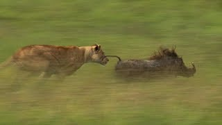 Download Mother Lioness Hunts Warthog | BBC Earth Video