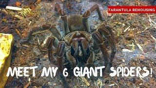 Download Giant Spiders! Meet my 6 Goliath Birdeater Tarantulas! Video