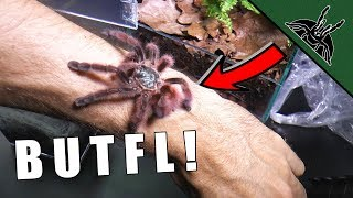 Download PRETTY TARANTULA IS A THING - Avicularia care sheet Video