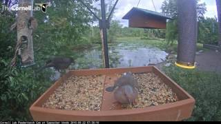 Download Great Blue Heron Visitor on Feeder Cam Video