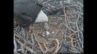 Download Big Bear Eagle Cam ~ Welcome To The World BB2 Hatches; Mom Steps On Baby SLO MO 2.12.18 Video