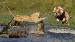 Download Crocodile is King Swamp! Two Male Lion Protect Yourself From Crocodile In River Video