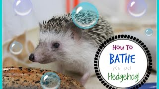 Download How To Bathe Your Hedgehog! Video