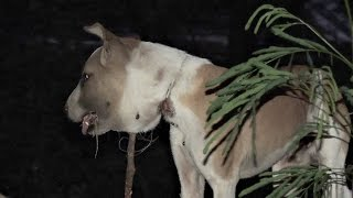 Download Dog's shocking injury from strangling on wire noose Video