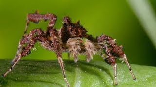 Download Spider With Three Super Powers - The Hunt - BBC Earth Video