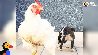Download Abandoned Puppy Grows Up With 150 Rescued Animal Friends | The Dodo Odd Couples Video