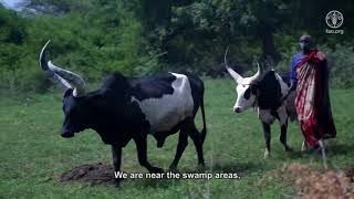 Download Improving animal health in South Sudan Video