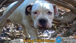 Download Scared homeless Bulldog / PitBull living in the bushes alone until Hope For Paws arrived! Video