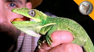 Download Super Sized Anole! Video