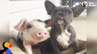 Download Dogs Raise Orphaned Piglets | The Dodo Odd Couples Video