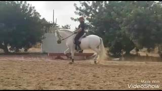 Download FARAON - Andalusian stallion basic correct dressage ideal for novice - For Sale - TBSH Video