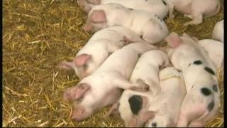 Download Pigs and their personalities (Adam Henson) - BBC - 21st August 2016 Video
