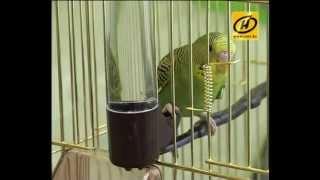 Download Волнистый попугай: смешная птичка, уход Video
