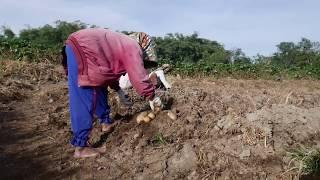 Download Cara panen kentang Granola buah besar dan banyak, di tanah karo Video