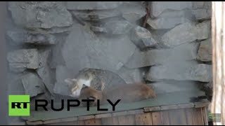 Download Russia: Pet cat adopts baby lynx rejected by its mother Video