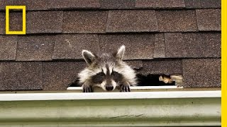 Download How to Evict Your Raccoon Roommates | National Geographic Video