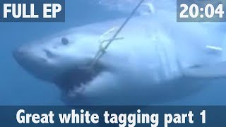 Download THE SEARCH FOR THE GREAT WHITE SHARK Video