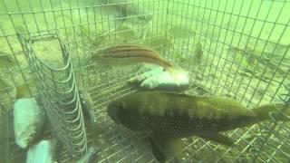 Download GoPro in bait trap 1 Video