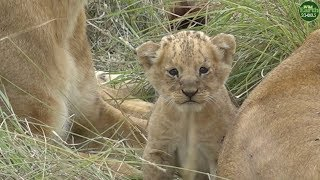 Download Moment of the Week: Tiny little lion cub meets its family of aunts Video