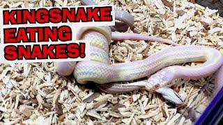 Download KINGSNAKE EATING SNAKE! Video