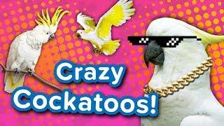 Download Crazy Cockatoos! // Funny Animal Compilation Video