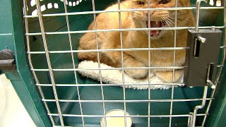 Download Angry Cat at the Vet - Fractious Cat Restraint Video