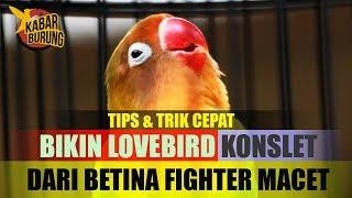Download Cara membuat Lovebird Konslet dari LB macet Video