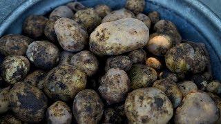 Download Harvesting Potatoes 👩🌾🥔// Garden Answer Video
