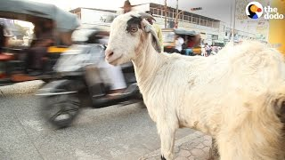 Download Cows in India Protected by New Technology   The Dodo Video
