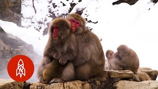 Download Japan's All-Natural Monkey Spa Video