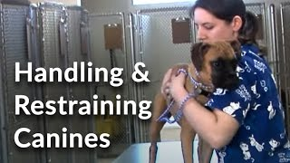 Download Veterinary Technician and Assistant Training: Handling and Restraining Dogs Video
