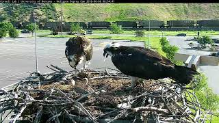 Download Male Osprey, Louis, Takes A Turn At Feeding Chicks – June 8, 2018 Video